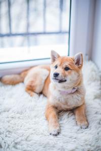 dog lying in a sheepskin rug