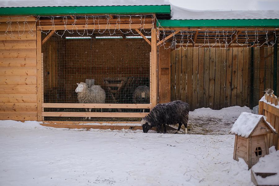 Black and white curly sheeps inside a custom sheep yards